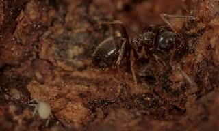 Cyphoderus albinus  and Ant