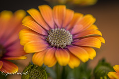 Sunny mix - Orange (pearl.winch) Tags: sunnymix 16thapril2018 homemacro osteospermum 5635 sunny mix orange coth coth5