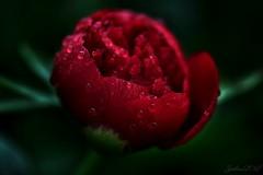 ~~ Pivoine sous la douche ! ~~ (Joélisa) Tags: mai2017 fleur macro pivoine rouge red gouttelettes pluie nikon