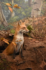 Red Fox (Adventurer Dustin Holmes) Tags: 2018 wondersofwildlife animal animals fox foxes redfox redfoxes museum burrow hole taxidermy exhibit display stuffed animalia chordata