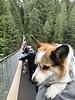 Mia crossing suspension bridge (Sherwood411) Tags: capilano suspension bridge mia corgi puppy carry dog sherwood411 vancouver