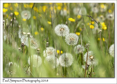 Summer Meadow (Paul Simpson Photography) Tags: summer meadow grass weeds flowers nature sonya77 naturalworld imagesof imageof photoof photosof yellow buttercups england naturephotography may2018 coloursofnature colorsofnature dandelions dandelion