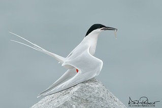 a very handsome endangered roseate tern