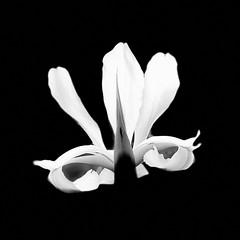 (pcamma) Tags: fantasia artist artistico artista artistic myart art iphonography onlyiphone iphone nature natura calm gardening giardinaggio giardino garden blackandwhite biancoenero fiore flower iris