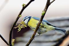 DSC 5457 (Charli 49) Tags: charli nature naturfotografie garten tier animal vogel bird blaumeise nistkasten nestbau nikon d7000