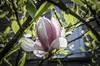 Magnolia (mmollame18) Tags: magnolia green leaves focus white pedals macromondays nikon d5100 nature garden