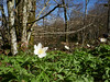 Wood anemones (Anemone nemorosa) in beech forest, Valmigere (Niall Corbet) Tags: france occitanie languedoc roussillon aude valmigere woodanemone anemonenemorosa beech fagus forest