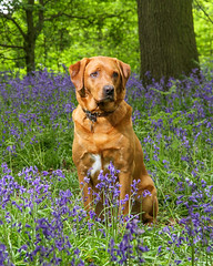 Bluebells (NeilSkinner01) Tags: labrador dog bluebells flash off camera