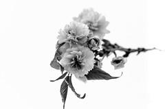 High key#1 (Sean X. Liu) Tags: blackandwhite blackwhite monochrome bokeh macro flower highpark toronto ontario canada
