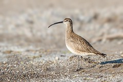 Whimbrel (Mike Veltri) Tags: whimbrel migration bronte oakville ontario naturephotography wild shorebird