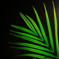 Green Leaves (Kozma Shots) Tags: plant leaves green