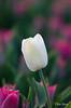 Tulip (Rene Mensen) Tags: thenetherlands tulip drenthe d5100 valthermond white nature nikon nikkor macro