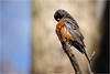 Preening or Praying (soupie1441) Tags: london ontario canada nikon d7200 robin grooming nature wildlife spring 2018 nikkor 200500mm telephoto zoom