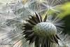 Spelacchio (Ferruccio Zanone) Tags: tarasacco fiore spelacchio macro lente raynox dcr150