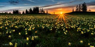 Jonquilles sauvages au coucher de soleil (Switzerland)
