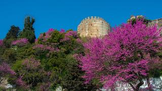 I'm on vacation for 4 months. (September 2018)Rumeli Hisari (Rumeli Fortress) & Judas Tree 2018 . Istanbul