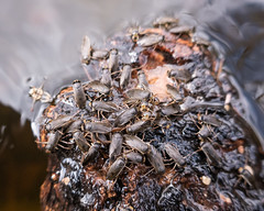 water boatmen (apmckinlay) Tags: animals insects nature waterbeetles saskatoon saskatchewan canada ca