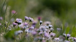 Sunbathing daisies   SONY ⍺7III & EF100~400mm ƒ/4.5~5.6L IS II USM on Metabones T Mark IV