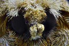 Polilla peluda - Eudyaria zeta (christian_kollinger) Tags: polilla peluda eudyzaria zeta yellow black eyes texture moth trompa belleza winter is comming 5x 5aumentos