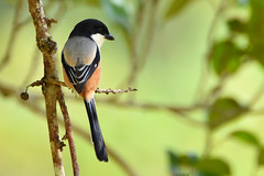 Long-tailed Shrike (Lanius schach) (Thanks for 2 million views) Tags: longtailedshrike laniusschach explore explored