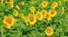 Field of sunflowers (pegase1972) Tags: upton quebec québec qc canada flower fleur tournesol sunflower montérégie monteregie nature eyeem fotolia dreamstime 123rf shutterstock