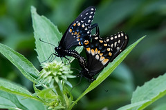 Black swallowtails, in a private moment. (jim_mcculloch) Tags: 8415 butterflies lepidoptera