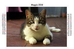 May 2018 (Alfredo Liverani) Tags: europa europe italia italy italien italie emiliaromagna romagna faenza faventia faience animal kitten gatto gatta gatti gatte cat cats chats chat katze katzen gato gatos pet pets tabby furry kitty moggy moggies gattino animale ininterni animaledomestico aliceellen alice ellen calendario calendar kalender canong5x canon g5x pointandshoot point shoot ps flickrdigital flickr digital camera cameras