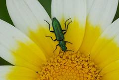 Soft-winged Flower Beetle --- Psilothrix viridicoerulea (creaturesnapper) Tags: tavira portugal europe coleoptera beetles insects softwingedflowerbeetle psilothrixviridicoerulea
