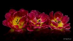 Three tulips (Magda Banach) Tags: canon canon80d sigma150mmf28apomacrodghsm blackbackground colors flora flower flowers macro nature plants red tulip tulips yellow