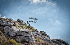 The Wicked Witch of Dartmoor 2 (pm69photography.uk) Tags: wicked witch spooky atmospheric atmosphere devon dartmoor hdr aurorahdr2018 trees tree sony sonya7r3 sonya7riii loxia loxia50mm loxialens zeissloxia 50mm landscape southwest
