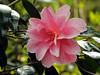 Pale Pink Camelia (Cornishcarolin. Stupid busy!! xx) Tags: cornwall penryn flowers camellias nature plants bush tree 1001nights 1001nightsmagiccity