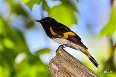 American Redstart (jt893x) Tags: 150600mm americanredstart bird d500 jt893x male nikon nikond500 redstart setophagaruticilla sigma sigma150600mmf563dgoshsms songbird warbler alittlebeauty coth thesunshinegroup ngc coth5 aunrays5