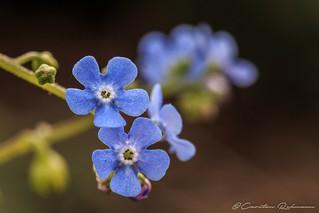 Blaues Blümchen...
