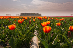 Tulips On The Tube (Alfred Grupstra) Tags: tulip flower nature springtime field yellow sky plant outdoors summer red season agriculture greencolor ruralscene netherlands beautyinnature multicolored meadow flowerbed tulips tube