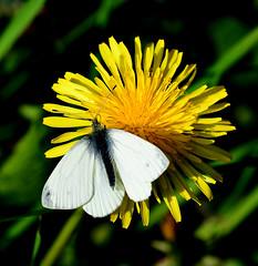 Small White Butterfly Pieris rapae (Joan's Pics 2012) Tags: smallwhite butterfly dandelion meadow feeding sunbathing windybankwood