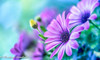 Scenery (frederic.gombert) Tags: light flower flowers color pink purple daisy bloom blossom colors colorful spring summer garden macro nikon