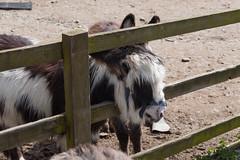 P1250221_edit (The Oldhams) Tags: cornwall donkeys flickadonkeysanctuary