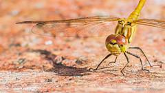 Common darter (Sympetrum striolatum) (The Nature Guy) Tags: mariehamn mariehamnsstad ålandislands ax sympetrumstriolatum