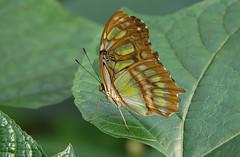 Green lover (eric zijn fotoos) Tags: blad leaf butterfly vlinder sonyrx10m3 holland noordholland thenetherlands artis insect insekt dier animal macro makro closeup