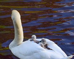 Swan & Cygnets (Terry Angus) Tags: swan cygnets
