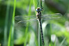 Hairy Dragonfly Upton NWT Norfolk (JohnMannPhoto) Tags: hairy dragonfly upton nwt norfolk