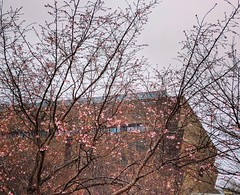 early blossoms (ekelly80) Tags: dc washingtondc february2018 cherryblossoms run nationalmall flowers blossoms smithsonian africanamericanmuseum tree pink