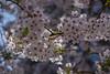 Cherry Blossom (Rudi Pauwels) Tags: goteborg gothenburg sweden sverige schweden sakura cherryblossom spring2018 springtime blossom zoom tele 18270mm tamron tamron18270mm nikon d7100 nikond7100