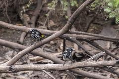 New Holland Honeyeater - Flinders Chase - Kangaroo Island - Australia (wietsej) Tags: new holland honeyeater flinders chase kangaroo island australia sony rx10 iv rx10m4 bird nature