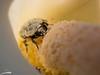 Farlopito (Sachada2010) Tags: sachada sachada2010 javier martin canon 80d macro 100mm is usm l nature naturaleza wildlife galicia escarabajo beetle flor flower cala apulso