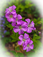 Happy Mother's Day!! (Shannonsong) Tags: geranium wildgeranium geraniummaculatum wildflowers plants nativeuswildflower purple lavender flowers petal blooms blossoms nature