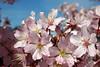 Kirsiõied (Jaan Keinaste) Tags: olympussh1 eesti estonia loodus nature kirss kirsiõied õied blossoms cherry kirsipuu kevad spring