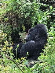 Wat you lookin at? (valerie C bayley) Tags: wild africa trek mountain jungle forest daddy primate volcanoespark uganda silverback mountaingorilla gorilla ape