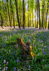 Elkin Wood (DAWPhotog) Tags: bluebells colour spring nature landscape flowers blue green dark moody bright colourful seasons sun sunset sundown sunshine woodland woods forest trees leaves beaitiful wildlife composition detail fineart explore travel uk clenthills lickeyhills england