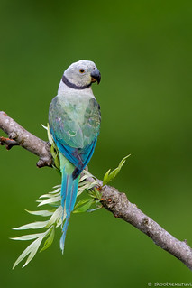 Blue-winged Parakeet